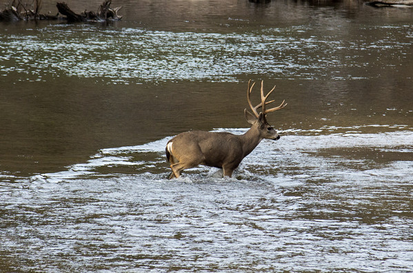 A large group of deer crossed the river right in front of where all the photographers were set up- perfect!